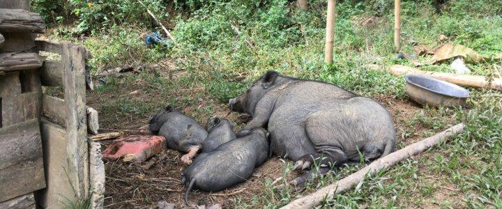 Tiere in Laos: Noch geht es den Schweinen offensichtlich gut. © 2017