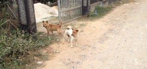 Hunde in Laos leben gut - und kurz © 2017